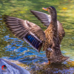 Mallard, Duck, Flapping, Flap, Conducting, Conductor, Orchestration, Wings